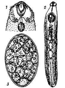 Рис 1 echinostoma revolutum 1 — головной конец 2