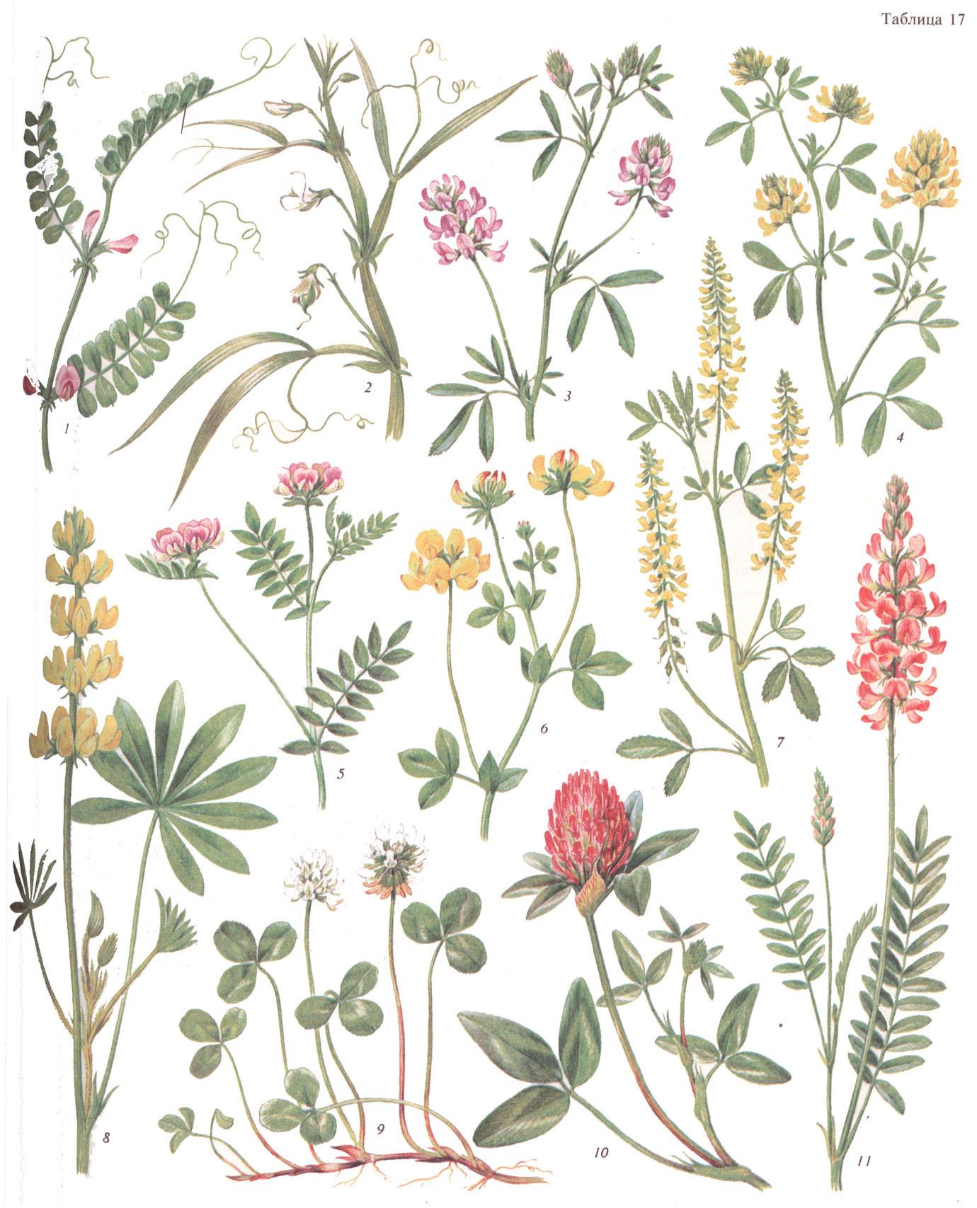 Схема оригинального и элитного семеноводства люпина желтого