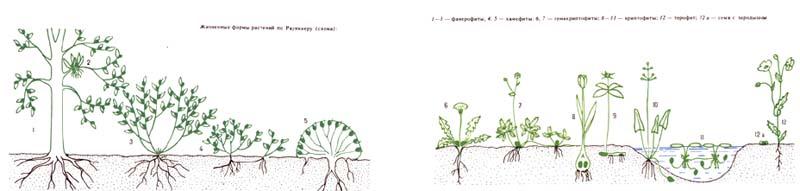 Жизненные формы растений по