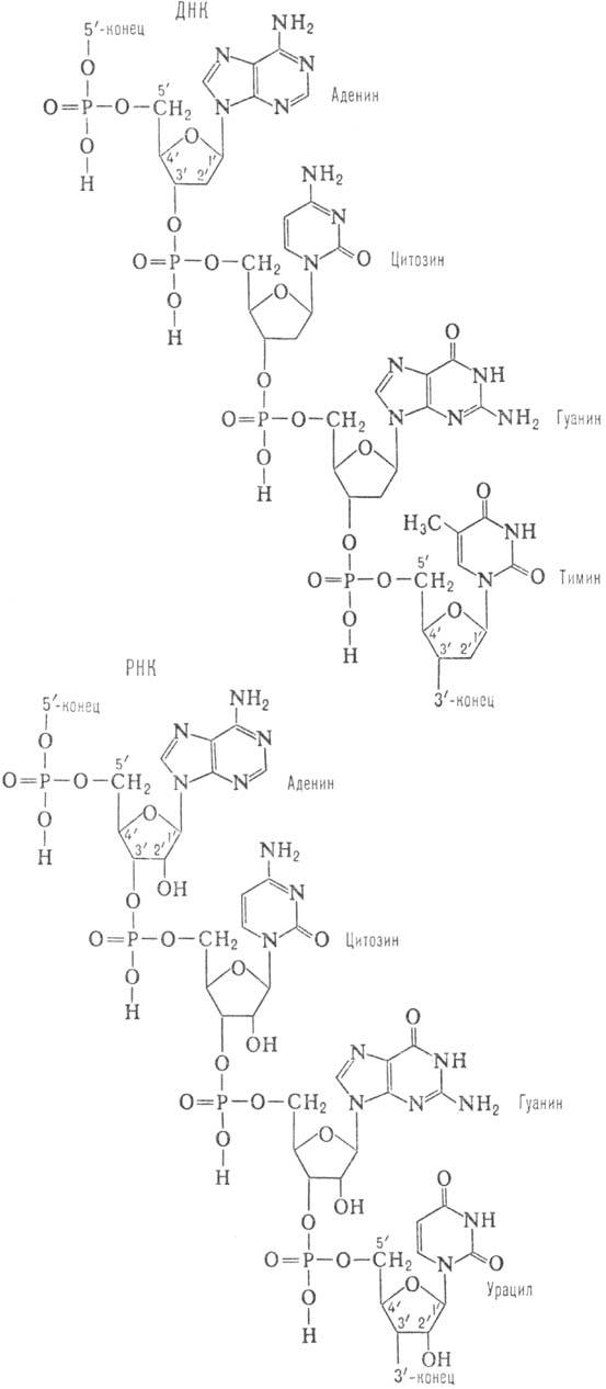 Так, РНК легко расщепляется