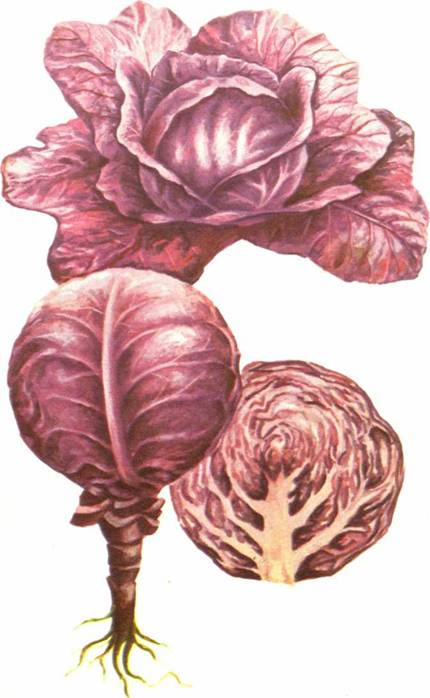 Капуста краснокочанная: сорт «Каменная головка 447»