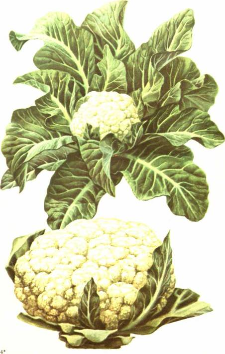 Цветная капуста: сорт «Адлерская зимняя 679»