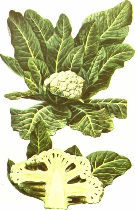 Цветная капуста: сорт «Ранняя Грибовская 1355»