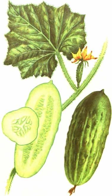Огурцы: сорт «Берлизовский»