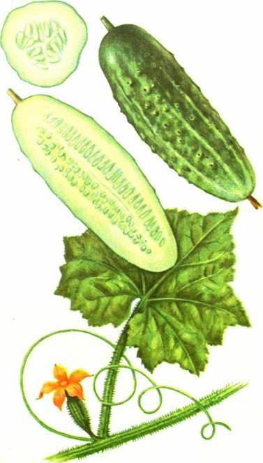 Огурцы: сорт «Должик»