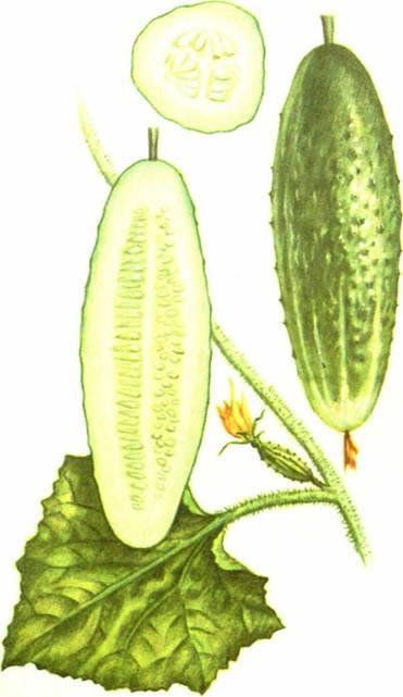 Огурцы: сорт «Изящный»
