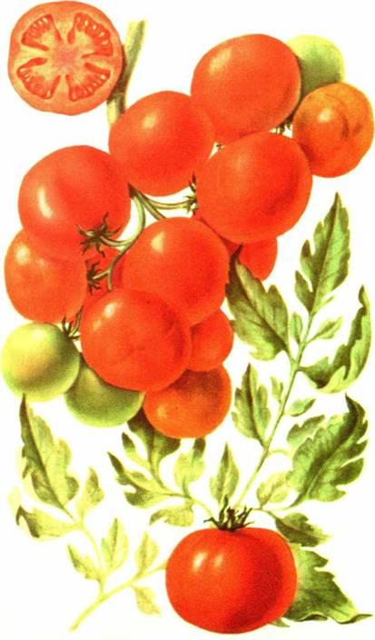 Томаты: сорт «Уральский многоплодный»