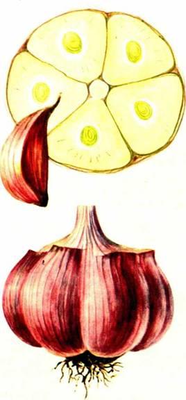 Чеснок: сорт «Юбилейный Грибовский»