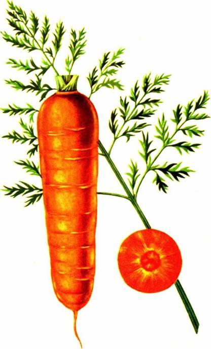 Морковь столовая: сорт «Витаминная 6»