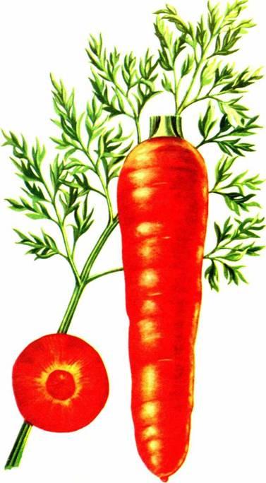 Морковь столовая: сорт «Лосиноостровская 13»