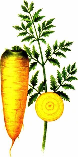 Морковь столовая: сорт «Мирзои желтая 304»