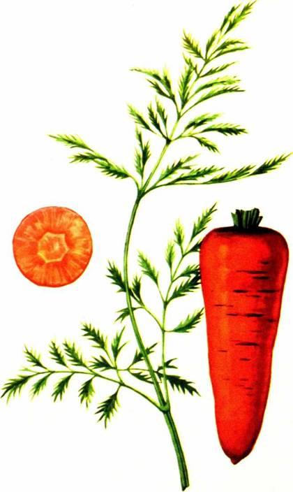 Морковь столовая: сорт «Московская зимняя А-515»