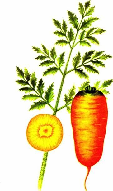 Морковь столовая: сорт «Мшак 195»