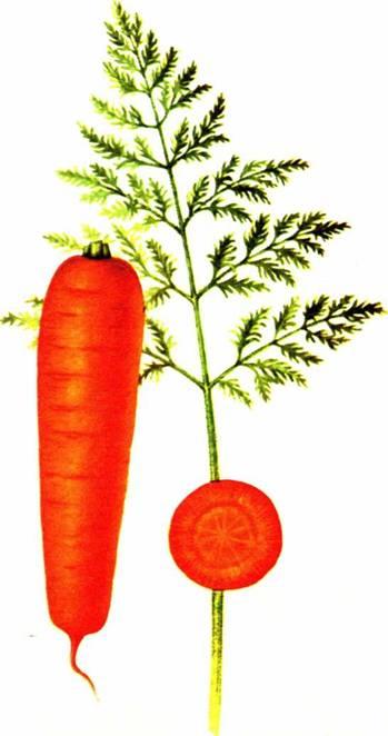 Морковь столовая: сорт «Нантская 4»