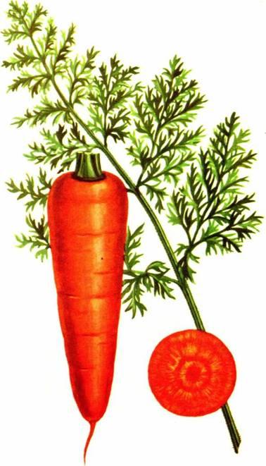 Морковь столовая: сорт «Несравненная»