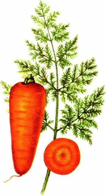 Морковь столовая: сорт «Шантенэ 2461»