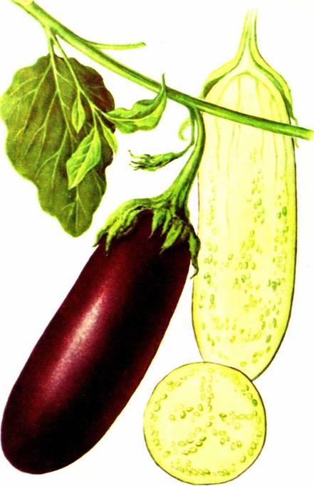 Баклажаны: сорт «Длинный фиолетовый 239»