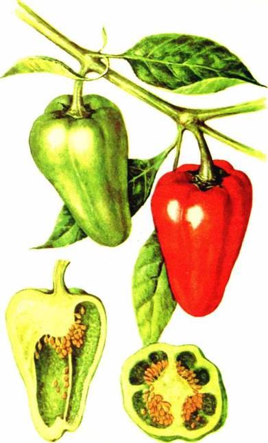 Перец сладкий: сорт «Консервный красный 211»
