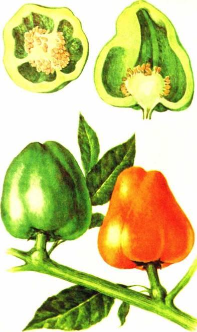 Перец сладкий: сорт «Крупный желтый 903»