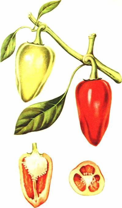 Перец сладкий: сорт «Ласточка»