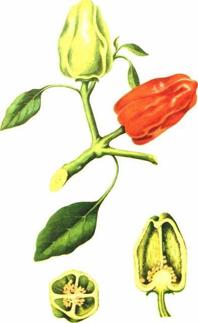 Перец сладкий: сорт «Новочеркасский 35»
