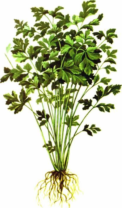 Петрушка: сорт «Обыкновенная листовая (листовая)»