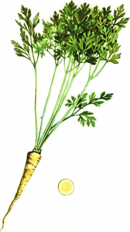 Петрушка: сорт «Урожайная»