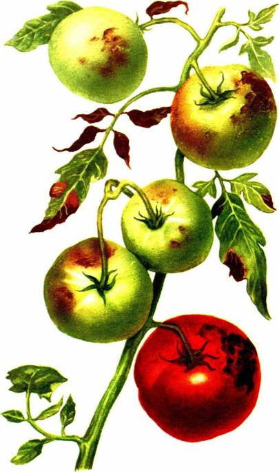 БОЛЕЗНИ ОВОЩНЫХ КУЛЬТУР, БОЛЕЗНИ ТОМАТОВ, Фитофтороз (поздняя гниль плодов)