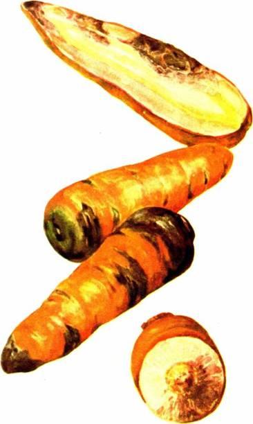БОЛЕЗНИ ОВОЩНЫХ КУЛЬТУР, БОЛЕЗНИ МОРКОВИ И СВЕКЛЫ, Фомоз (сухая гниль моркови)
