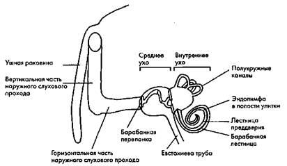 Рис. 42. Основные структуры уха